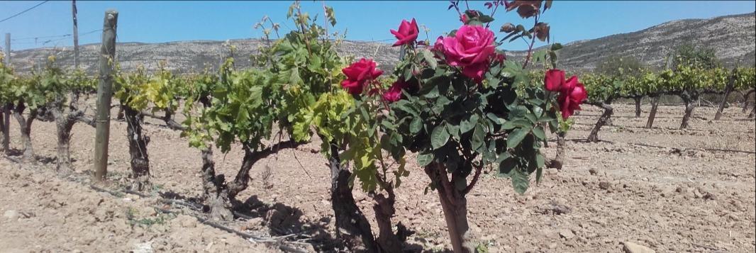 Cuando llega la primavera a nuestros viñedos