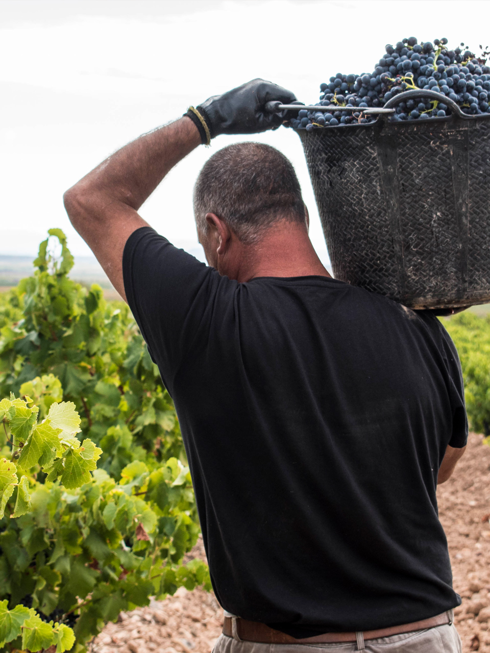 Vendimia 2018 - Manzanos Wines